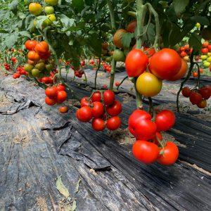 Agroeliek Domate